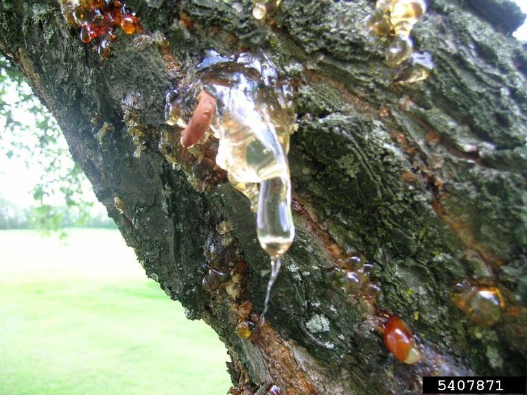 Gummosis on tree
