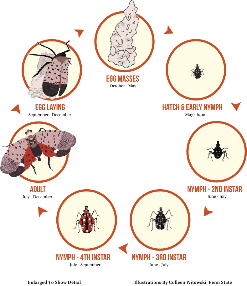 Lanterfly Lifecycle
