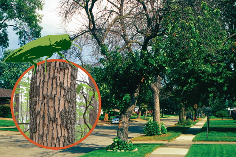 Canopy Death and Sprouting from EAB Infestation and close up of Woodpecker  Damage on Emerald Ash Borer Infested  Ash Tree in Michigan.