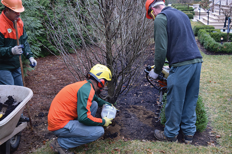 John B. Ward staff vertical-mulch and prune the hornbeam hedge, February, 2017