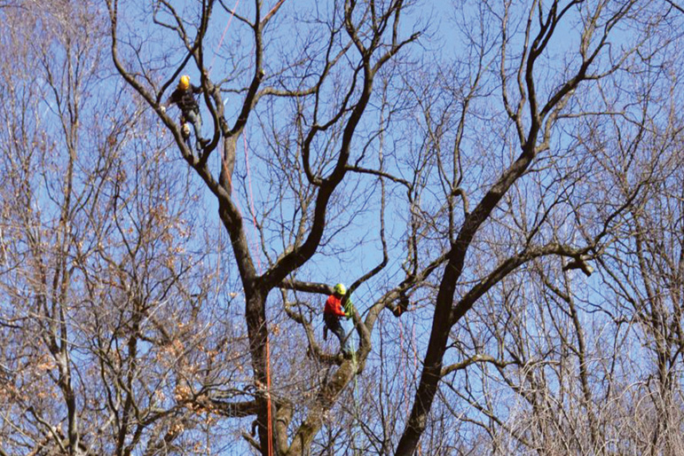 Tadd Leaman, ISA Certified Arborist, and Johny Vito prune a beautiful Black Oak in Radnor.