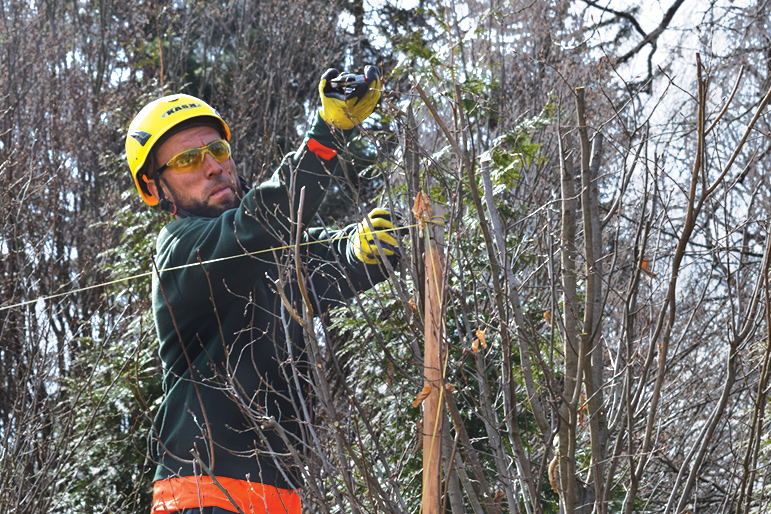 Ernesto Perez uses a string line to formally prune a row of hornbeam trees in Devon.
