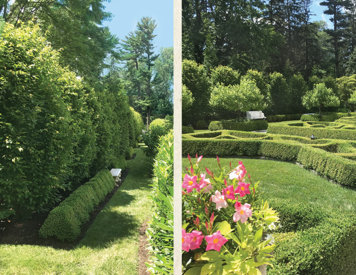 The hornbeam hedge in July, 2017 looking strong!