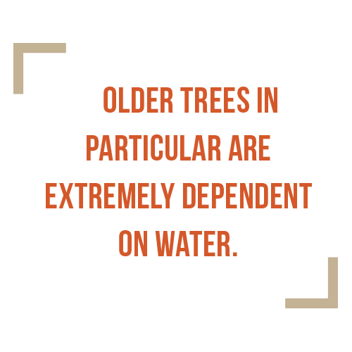 Older trees in particular are extremely dependent on water